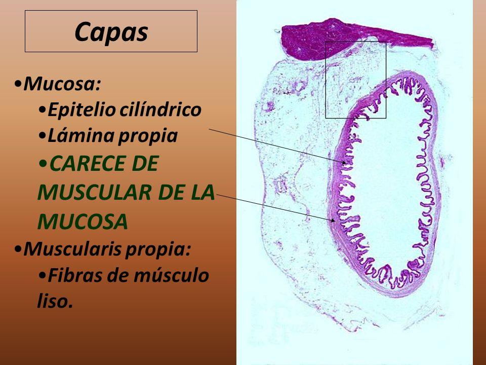 Capas Mucosa: Epitelio cilíndrico Lámina propia CARECE DE MUSCULAR DE LA MUCOSA Muscularis propia: Fibras de músculo liso.