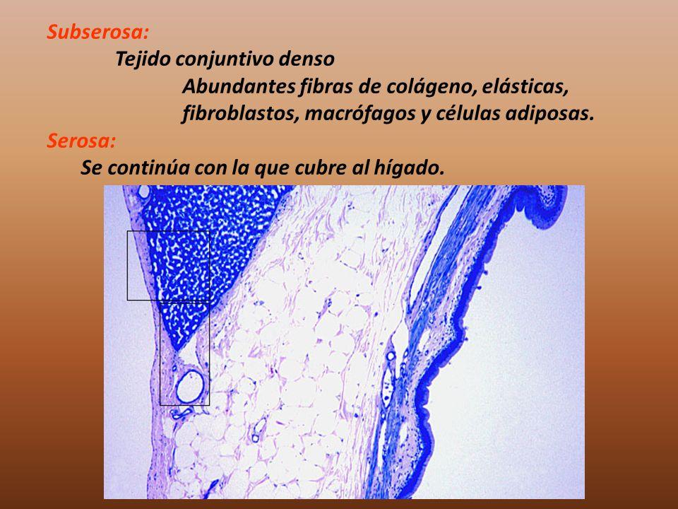 Subserosa: Tejido conjuntivo denso Abundantes fibras de colágeno, elásticas, fibroblastos, macrófagos y células adiposas. Serosa: Se continúa con la q
