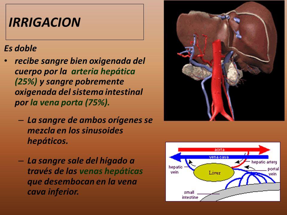 Es doble recibe sangre bien oxigenada del cuerpo por la arteria hepática (25%) y sangre pobremente oxigenada del sistema intestinal por la vena porta