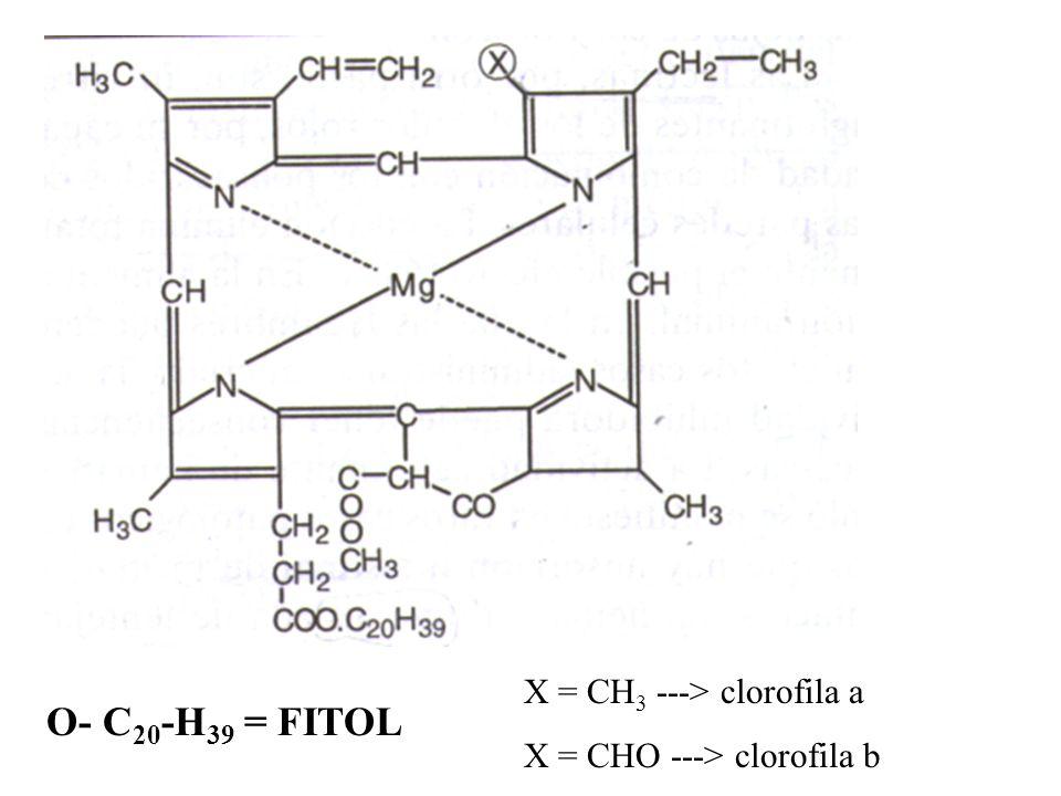 b) reacciones de degradación b.1.clorofilasas - separa fitol -------> clorofilina a y b b.2.