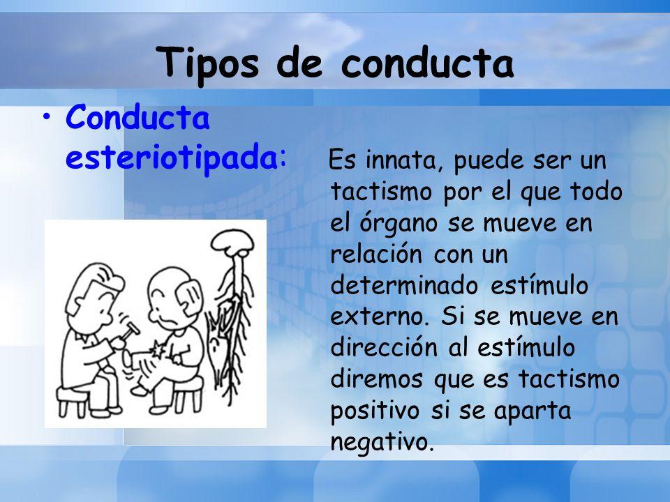 Tipos de conducta Conducta esteriotipada: Es innata, puede ser un tactismo por el que todo el órgano se mueve en relación con un determinado estímulo