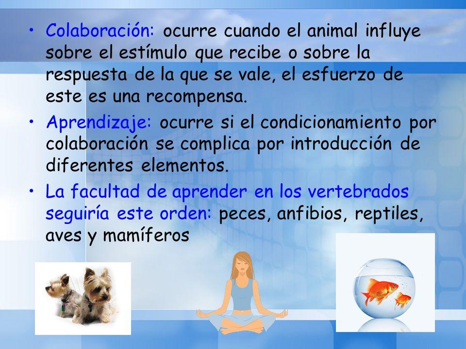 Colaboración: ocurre cuando el animal influye sobre el estímulo que recibe o sobre la respuesta de la que se vale, el esfuerzo de este es una recompen