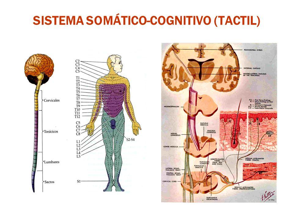 SISTEMA SOMÁTICO-COGNITIVO (TACTIL)