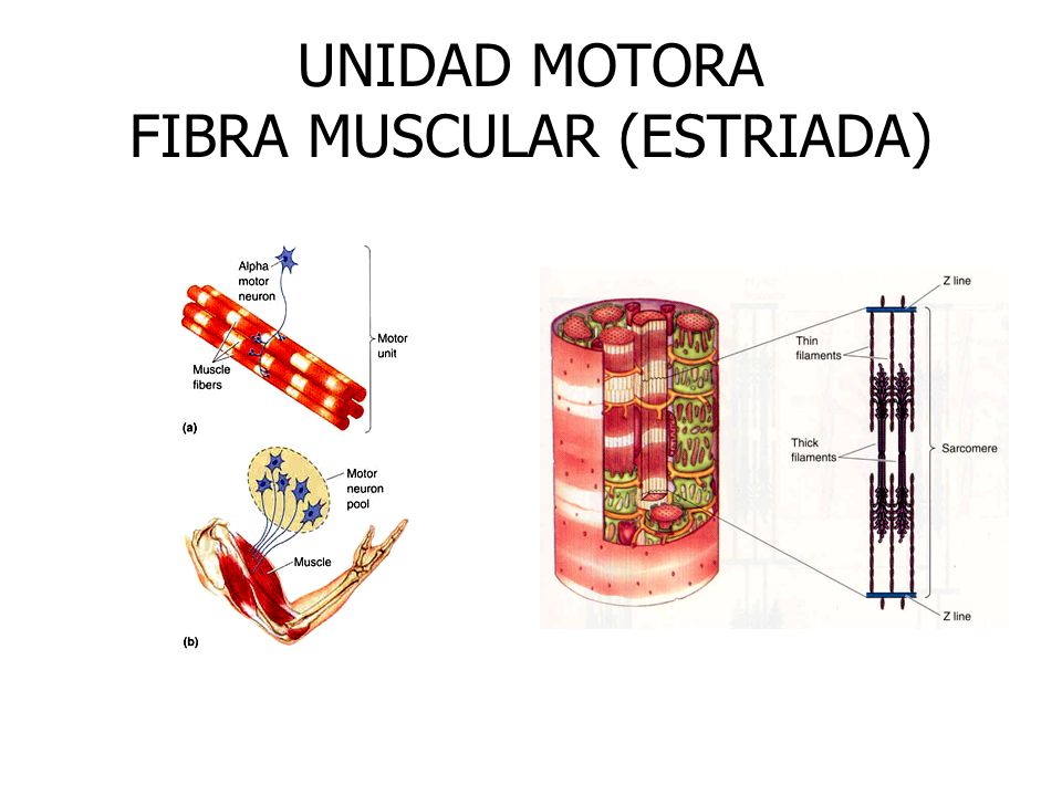 UNIDAD MOTORA FIBRA MUSCULAR (ESTRIADA)