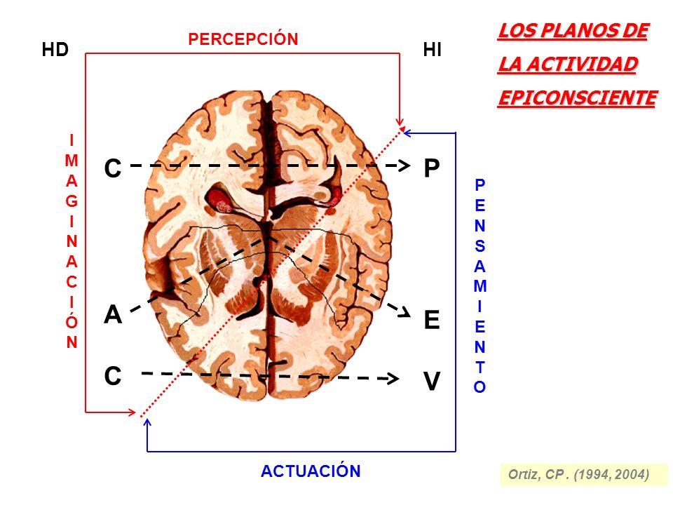HD C V A E C P HI IMAGINACIÓNIMAGINACIÓN PERCEPCIÓN PENSAMIENTOPENSAMIENTO ACTUACIÓN LOS PLANOS DE LA ACTIVIDAD EPICONSCIENTE Ortiz, CP. (1994, 2004)