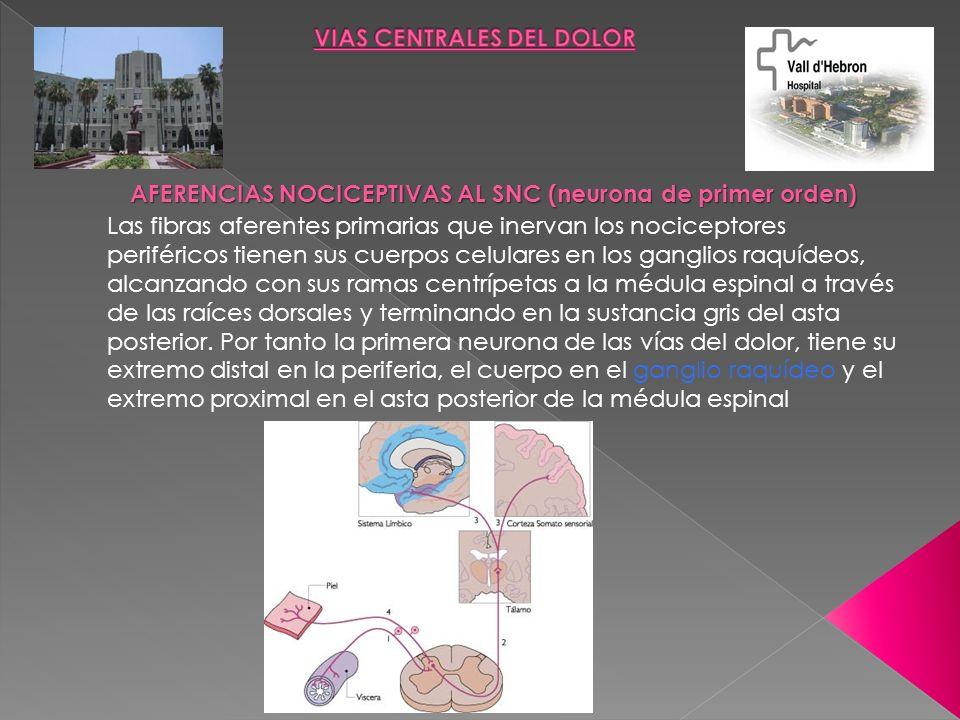 Las fibras aferentes primarias que inervan los nociceptores periféricos tienen sus cuerpos celulares en los ganglios raquídeos, alcanzando con sus ram
