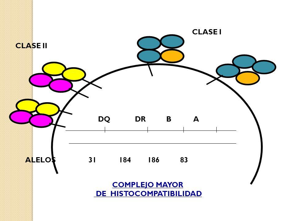 DQ DR B A CLASE I CLASE II COMPLEJO MAYOR DE HISTOCOMPATIBILIDAD ALELOS 31 184 186 83