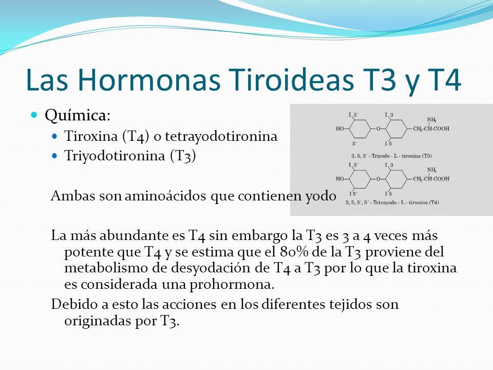 Las Hormonas Tiroideas T3 y T4 Química: Tiroxina (T4) o tetrayodotironina Triyodotironina (T3) Ambas son aminoácidos que contienen yodo La más abundante es T4 sin embargo la T3 es 3 a 4 veces más potente que T4 y se estima que el 80% de la T3 proviene del metabolismo de desyodación de T4 a T3 por lo que la tiroxina es considerada una prohormona.