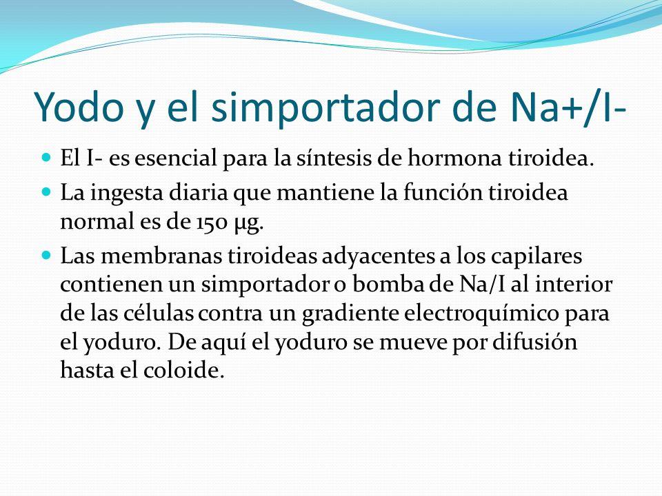 Síntesis de Hormona Tiroidea 1.-Transporte de Yoduro hacia la tiroides por el Na/I simportador.