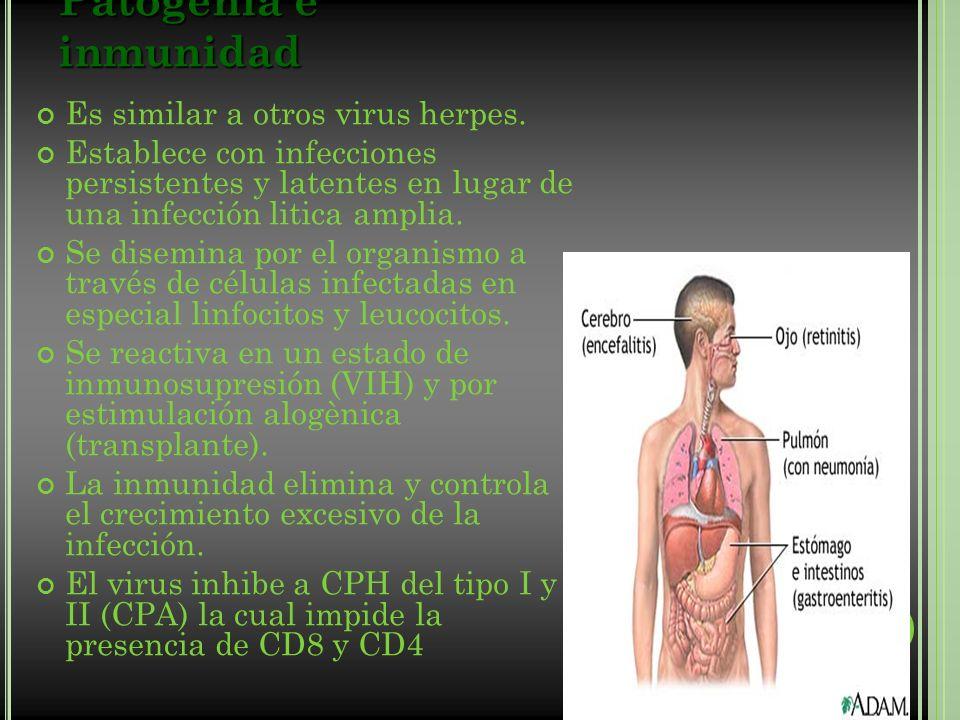 Patogenia e inmunidad Es similar a otros virus herpes. Establece con infecciones persistentes y latentes en lugar de una infección litica amplia. Se d