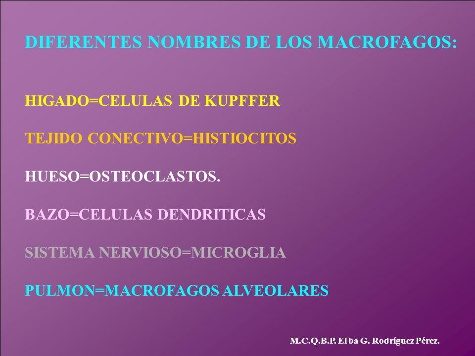 DIFERENTES NOMBRES DE LOS MACROFAGOS: HIGADO=CELULAS DE KUPFFER TEJIDO CONECTIVO=HISTIOCITOS HUESO=OSTEOCLASTOS. BAZO=CELULAS DENDRITICAS SISTEMA NERV