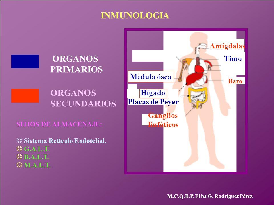 M.C.Q.B.P. El ba G. Rodríguez Pérez. Medula ósea Timo Hígado Placas de Peyer ORGANOS PRIMARIOS Ganglios linfáticos Bazo Amígdalas ORGANOS SECUNDARIOS