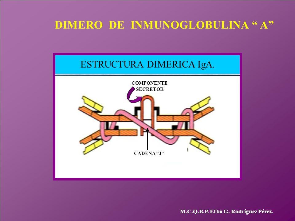 M.C.Q.B.P. El ba G. Rodríguez Pérez. ESTRUCTURA DIMERICA IgA. CADENA J COMPONENTE SECRETOR DIMERO DE INMUNOGLOBULINA A
