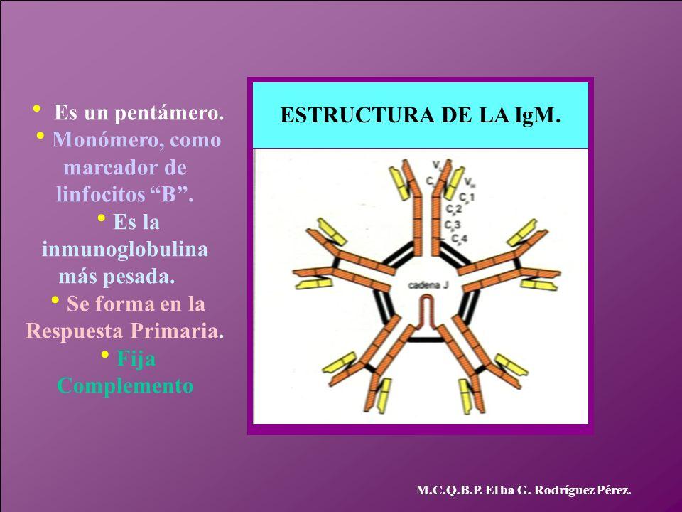 ESTRUCTURA DE LA IgM. Es un pentámero. Monómero, como marcador de linfocitos B. Es la inmunoglobulina más pesada. Se forma en la Respuesta Primaria. F