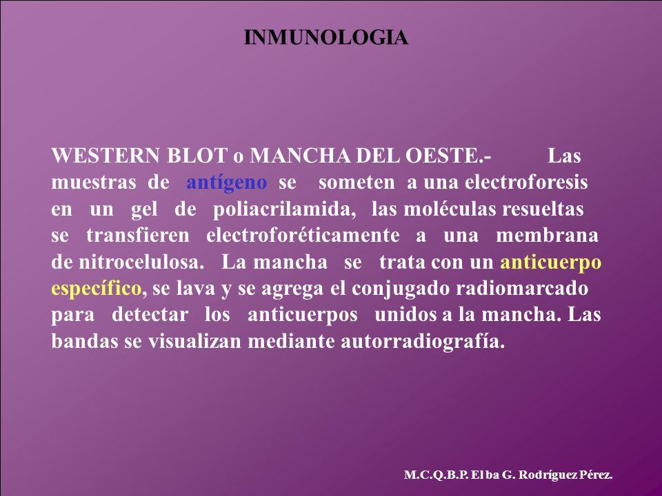 INMUNOLOGIA M.C.Q.B.P. El ba G. Rodríguez Pérez. WESTERN BLOT o MANCHA DEL OESTE.- Las muestras de antígeno se someten a una electroforesis en un gel