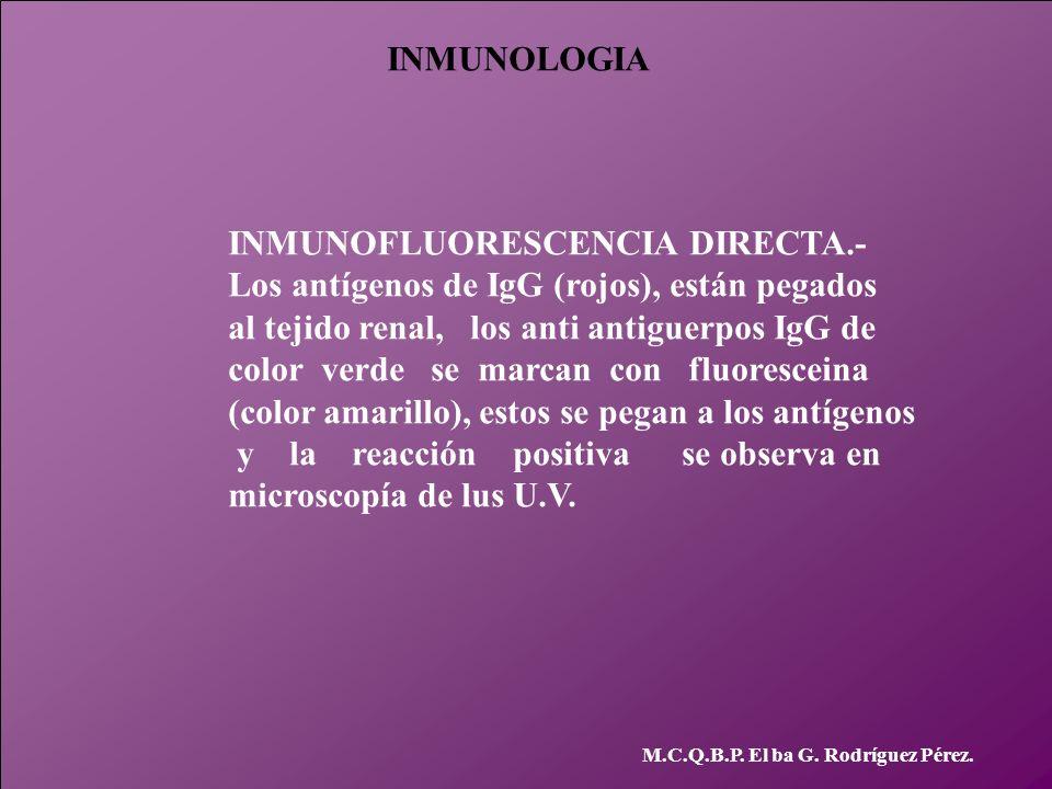 INMUNOLOGIA M.C.Q.B.P. El ba G. Rodríguez Pérez. INMUNOFLUORESCENCIA DIRECTA.- Los antígenos de IgG (rojos), están pegados al tejido renal, los anti a