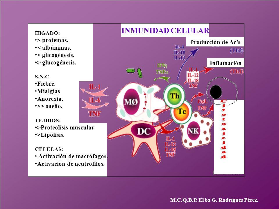 M.C.Q.B.P. El ba G. Rodríguez Pérez. HIGADO: > proteínas. < albúminas. > glicogénesis. > glucogénesis. S.N.C. Fiebre. Mialgias Anorexia. >> sueño. TEJ