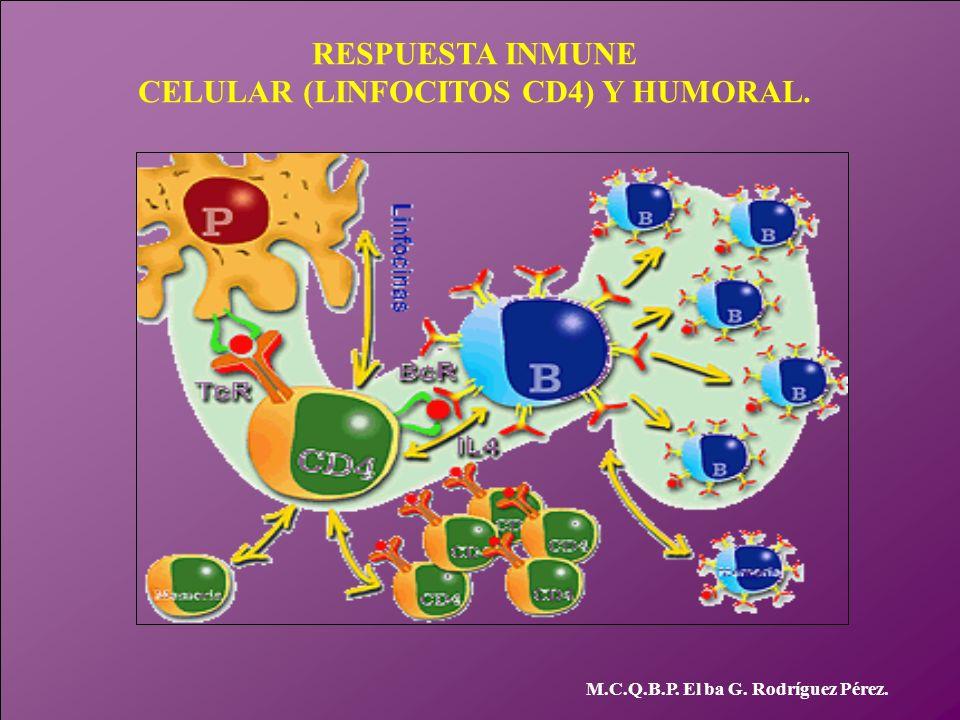 RESPUESTA INMUNE CELULAR (LINFOCITOS CD4) Y HUMORAL. M.C.Q.B.P. El ba G. Rodríguez Pérez.
