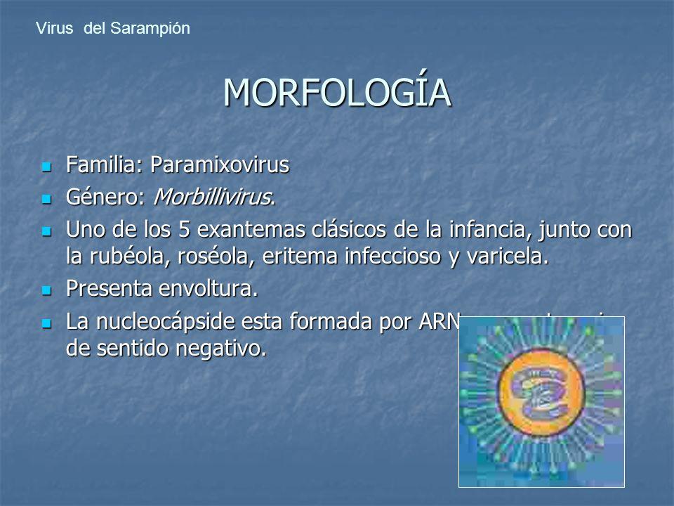 MORFOLOGÍA Familia: Paramixovirus Familia: Paramixovirus Género: Morbillivirus. Género: Morbillivirus. Uno de los 5 exantemas clásicos de la infancia,