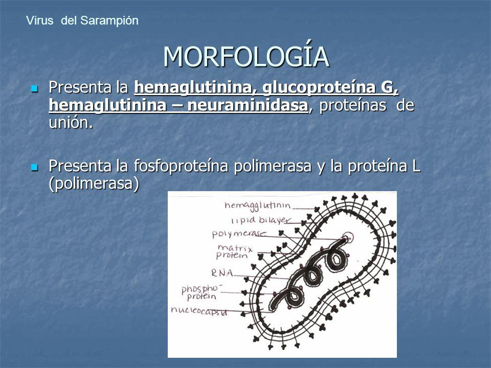 Presenta la hemaglutinina, glucoproteína G, hemaglutinina – neuraminidasa, proteínas de unión. Presenta la hemaglutinina, glucoproteína G, hemaglutini