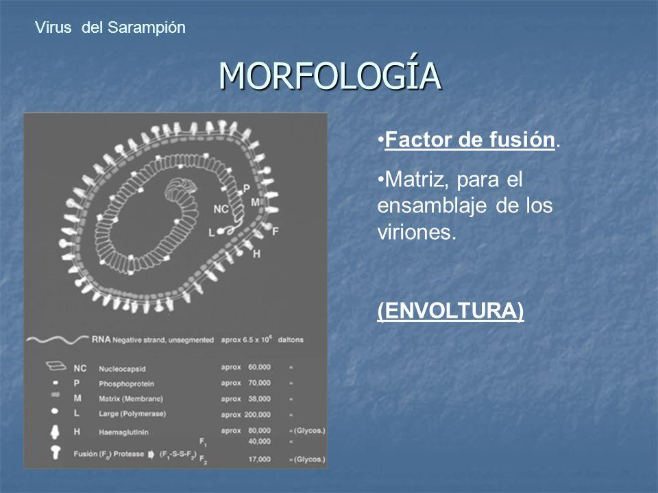 MORFOLOGÍA Factor de fusión. Matriz, para el ensamblaje de los viriones. (ENVOLTURA)