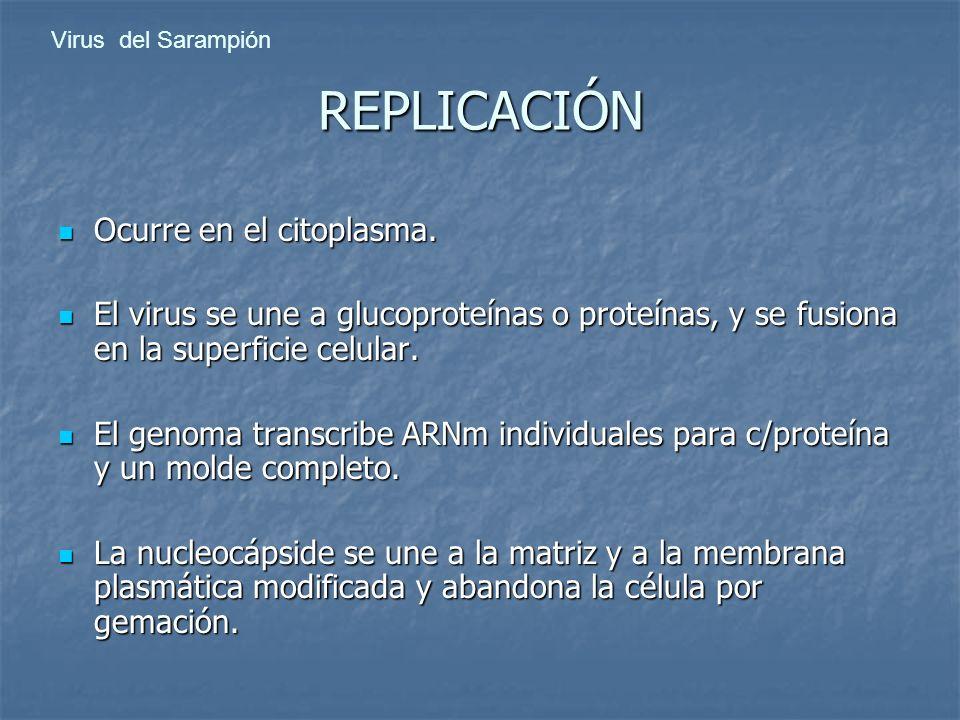 Virus del Sarampión REPLICACIÓN Ocurre en el citoplasma. Ocurre en el citoplasma. El virus se une a glucoproteínas o proteínas, y se fusiona en la sup