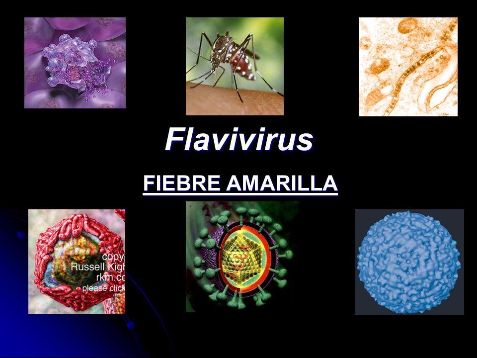 Resultado de imagen de fiebre amarilla virus IMAGENES