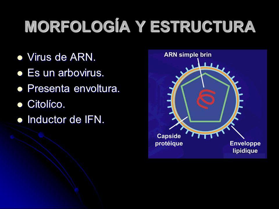 MORFOLOGÍA Y ESTRUCTURA Virus de ARN. Virus de ARN. Es un arbovirus. Es un arbovirus. Presenta envoltura. Presenta envoltura. Citolíco. Citolíco. Indu