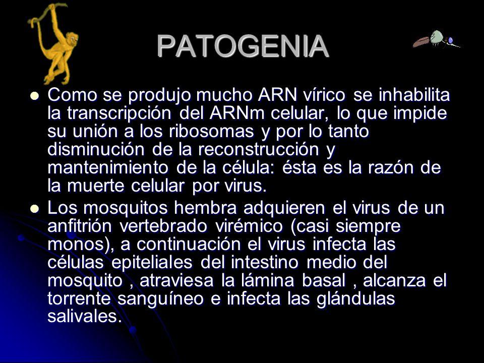 PATOGENIA Como se produjo mucho ARN vírico se inhabilita la transcripción del ARNm celular, lo que impide su unión a los ribosomas y por lo tanto dism