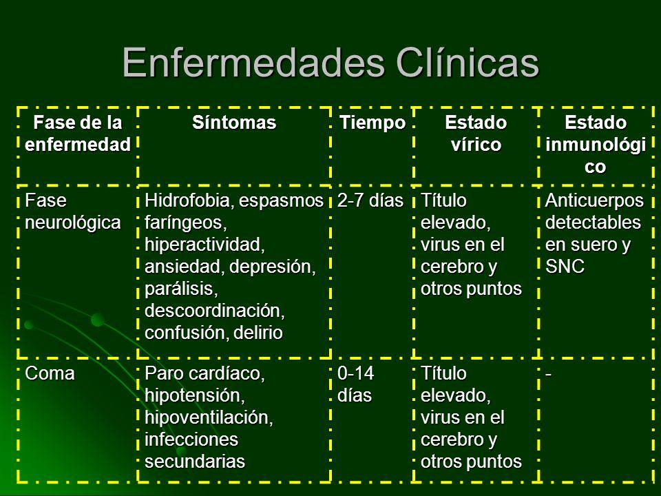 Enfermedades Clínicas Fase de la enfermedad SíntomasTiempo Estado vírico Estado inmunológi co Fase neurológica Hidrofobia, espasmos faríngeos, hiperac