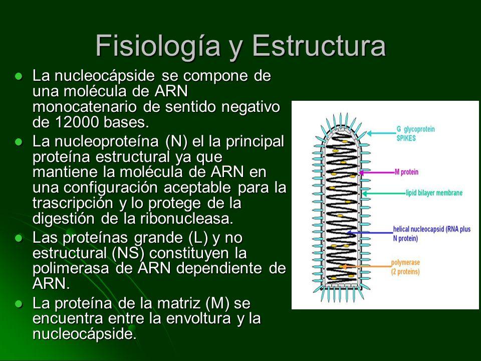 Fisiología y Estructura La nucleocápside se compone de una molécula de ARN monocatenario de sentido negativo de 12000 bases. La nucleocápside se compo