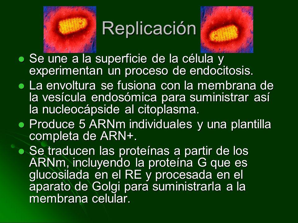 Replicación El genoma se replica a partir de la plantilla de ARN+ y las proteínas N, L y NS se asocian con el genoma para formar la nucleocápside.