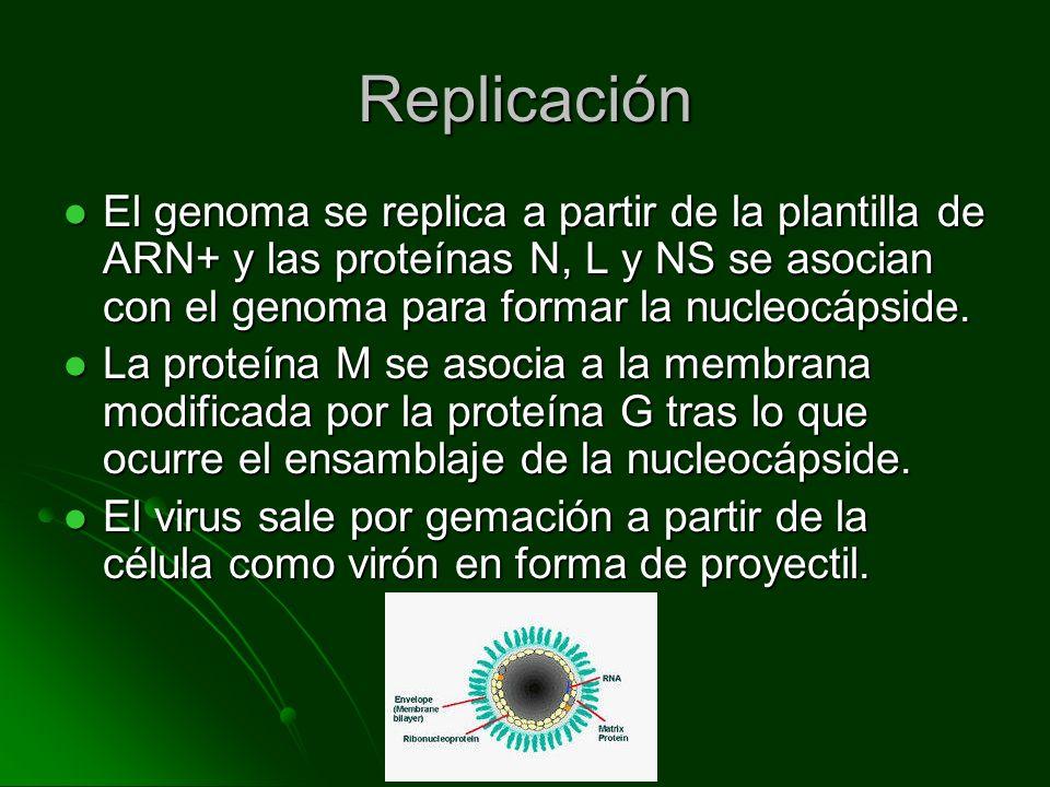 Replicación El genoma se replica a partir de la plantilla de ARN+ y las proteínas N, L y NS se asocian con el genoma para formar la nucleocápside. El