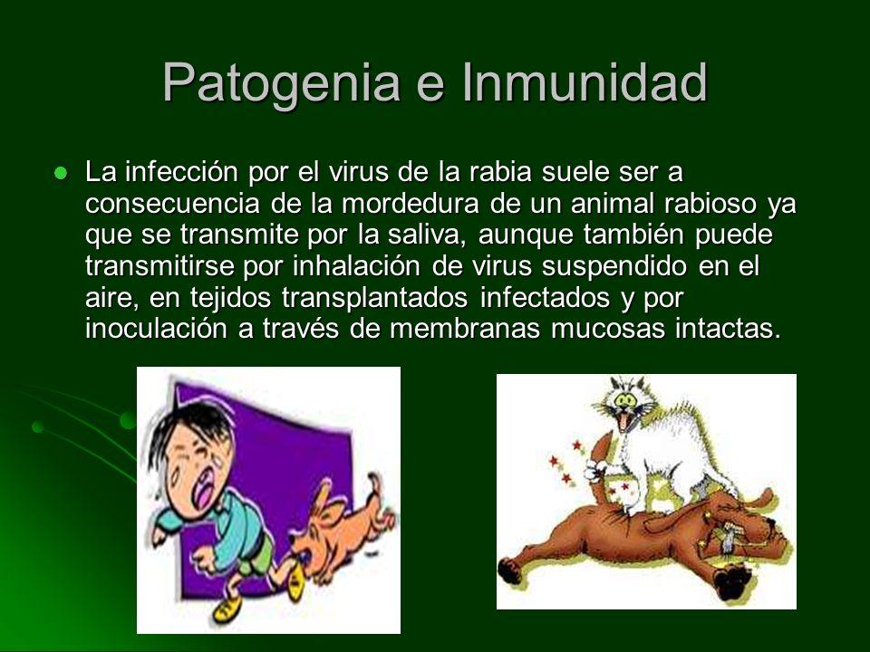 Patogenia e Inmunidad La infección por el virus de la rabia suele ser a consecuencia de la mordedura de un animal rabioso ya que se transmite por la s