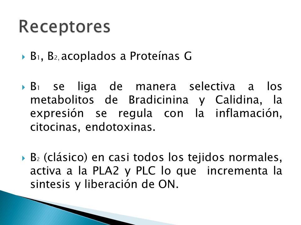 B 1, B 2, acoplados a Proteínas G B 1 se liga de manera selectiva a los metabolitos de Bradicinina y Calidina, la expresión se regula con la inflamaci