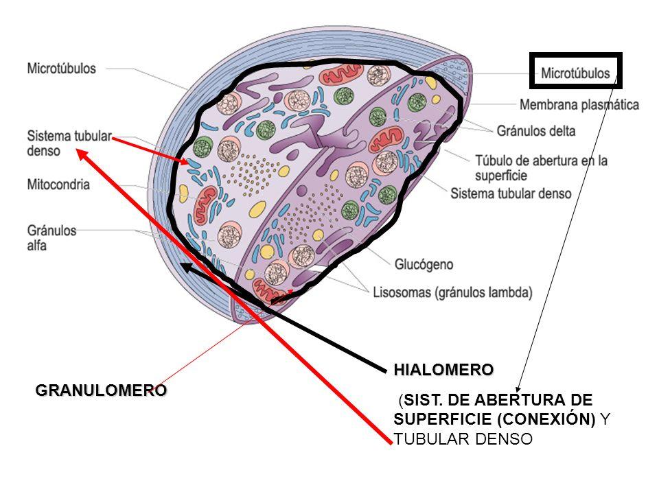 GRANULOMERO HIALOMERO (SIST. DE ABERTURA DE SUPERFICIE (CONEXIÓN) Y TUBULAR DENSO