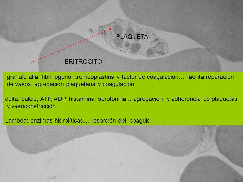 ERITROCITO PLAQUETA granulo alfa: fibrinogeno, tromboplastina y factor de coagulacion… facilita reparacion de vasos, agregacion plaquetaria y coagulac