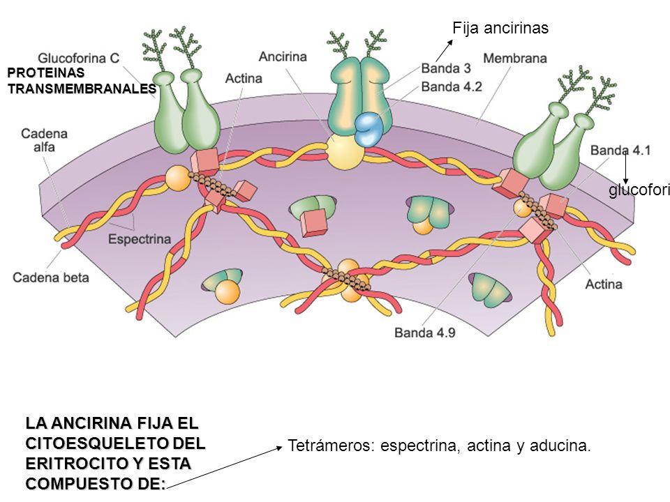 Tetrámeros: espectrina, actina y aducina. LA ANCIRINA FIJA EL CITOESQUELETO DEL ERITROCITO Y ESTA COMPUESTO DE: PROTEINAS TRANSMEMBRANALES Fija anciri