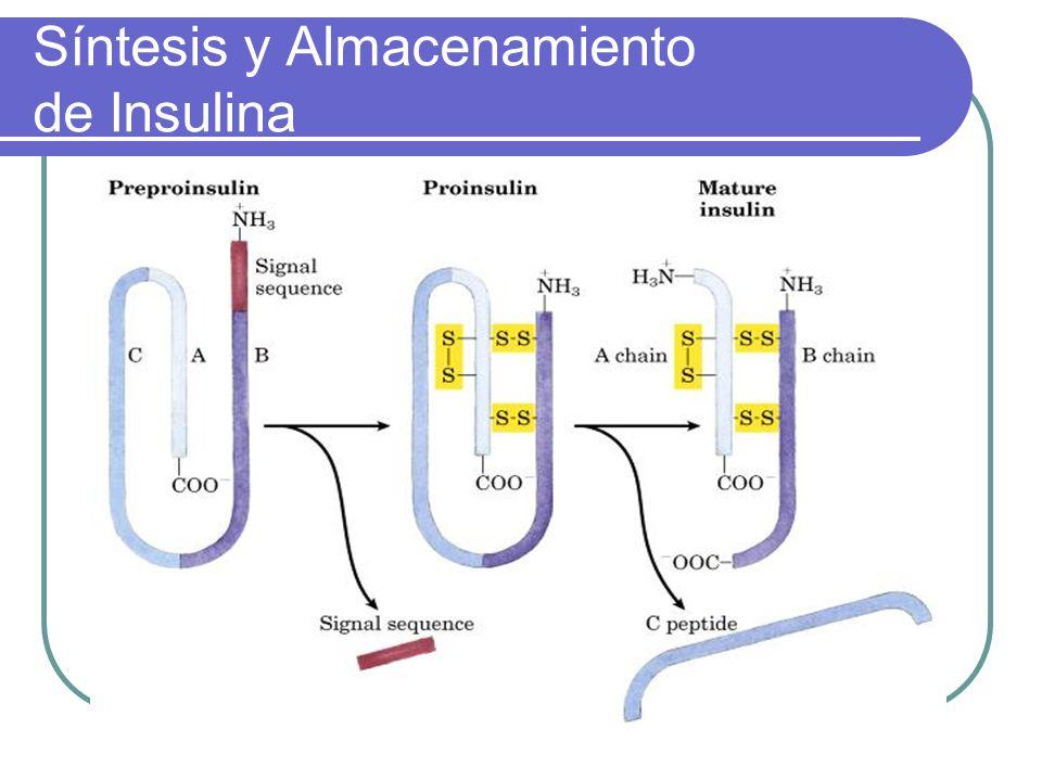 Efectos de la insulina Hìgado: Mùsculo: Tejido adiposo: Inhibe la gluconeogènesis Inhibe la glucogenòlisis Inhibe la producciòn hepàtica de glucosa Estimula la captaciòn de glucosa Estimula la glucogènesis Inhibe la proteòlisis Estimula la captaciòn de glucosa Inhibe la lipolisis