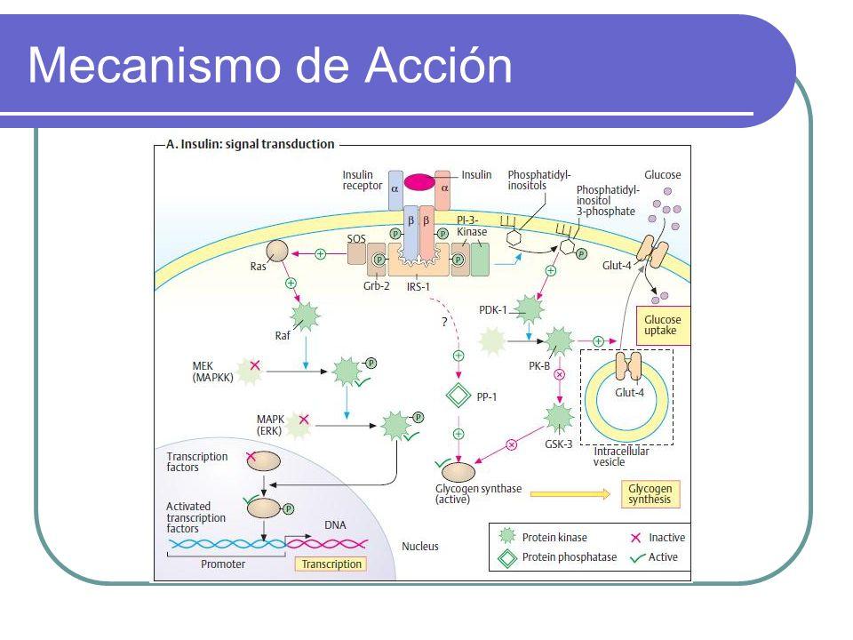 Transportadores de Glucosa Transportador FunciónLocalización SGLT-1 Absorción de glucosa Intestino delgado, riñón SGLT-2 Absorción de glucosa Túbulos renales GLUT-1 Captación basal de glucosa Placenta, BHE, cerebro, RBC, otros órganos GLUT-2 Sensor en las células B Páncreas, hígado GLUT-3 Captación basal de glucosa Cerebro, placenta, otros GLUT-4 Captación de glucosa*** Músculo estriado, adipocitos GLUT-5 Transporte de fructosa Yeyuno, espermatozoides GLUT-6 .