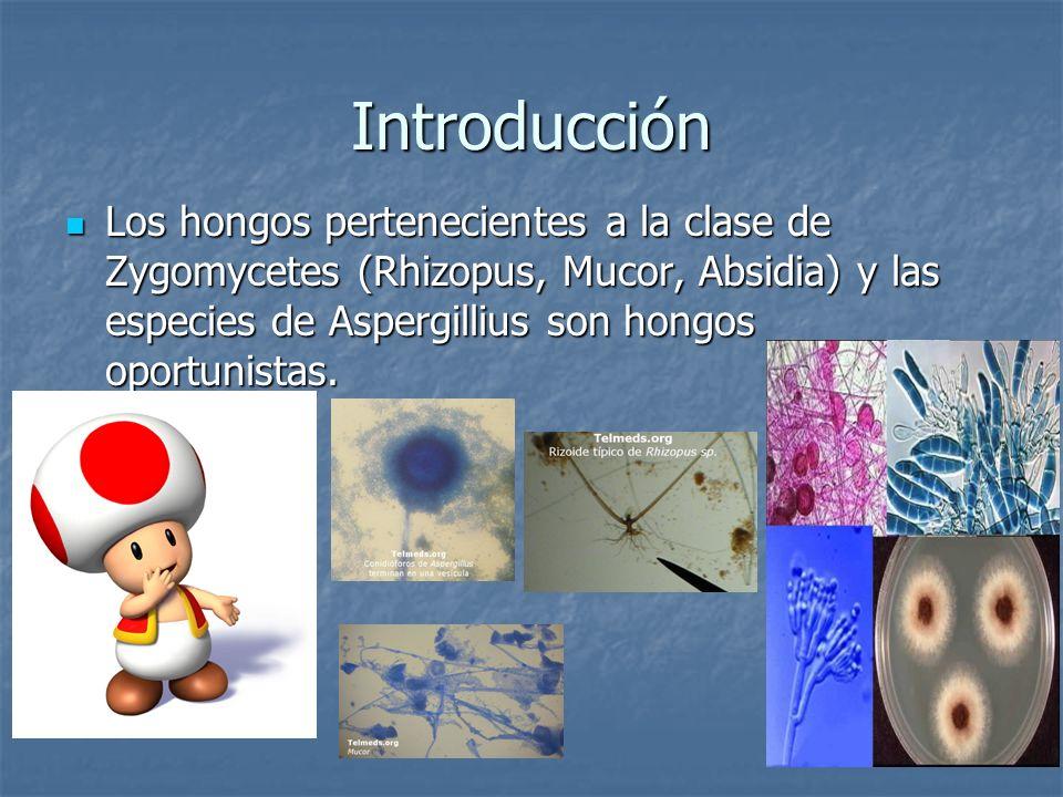Introducción Los hongos pertenecientes a la clase de Zygomycetes (Rhizopus, Mucor, Absidia) y las especies de Aspergillius son hongos oportunistas. Lo