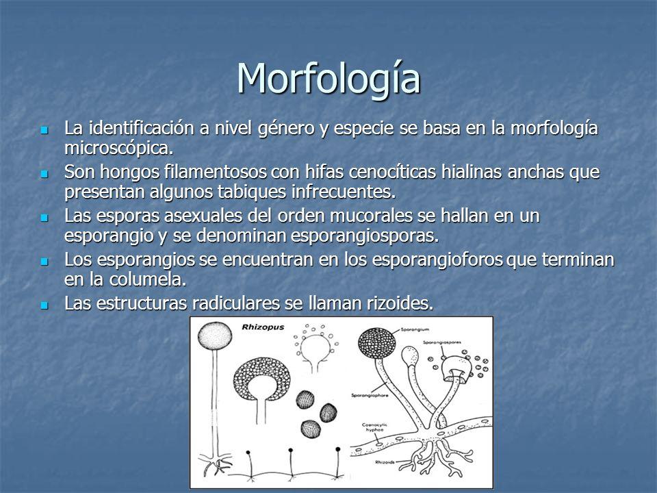 Morfología La identificación a nivel género y especie se basa en la morfología microscópica. La identificación a nivel género y especie se basa en la