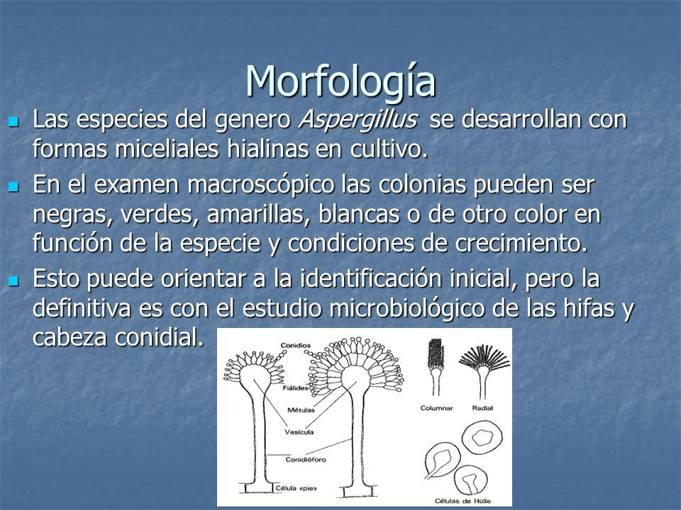 Morfología Las especies del genero Aspergillus se desarrollan con formas miceliales hialinas en cultivo. Las especies del genero Aspergillus se desarr