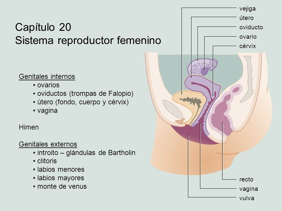 vejiga útero oviducto ovario cérvix recto vagina vulva Capítulo 20 Sistema reproductor femenino Genitales internos ovarios oviductos (trompas de Falop