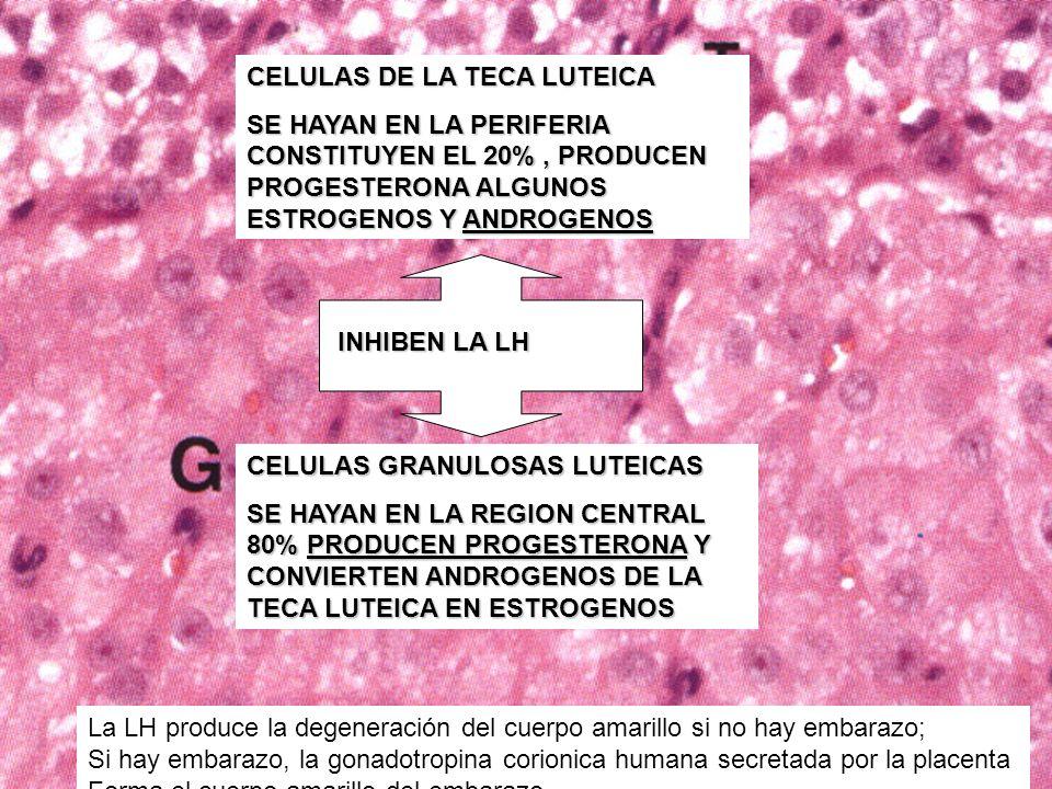 CELULAS DE LA TECA LUTEICA SE HAYAN EN LA PERIFERIA CONSTITUYEN EL 20%, PRODUCEN PROGESTERONA ALGUNOS ESTROGENOS Y ANDROGENOS CELULAS GRANULOSAS LUTEI