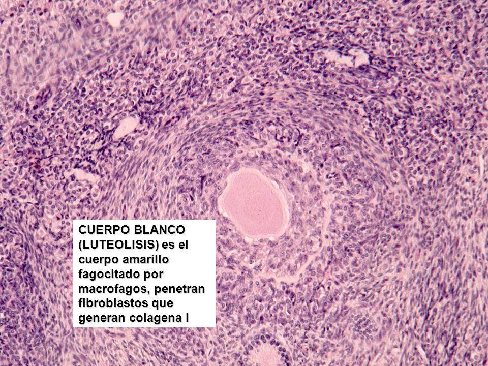 CUERPO BLANCO (LUTEOLISIS) es el cuerpo amarillo fagocitado por macrofagos, penetran fibroblastos que generan colagena I