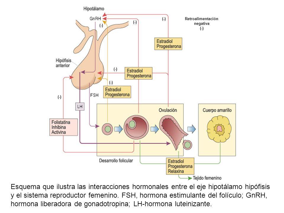 Esquema que ilustra las interacciones hormonales entre el eje hipotálamo hipófisis y el sistema reproductor femenino. FSH, hormona estimulante del fol