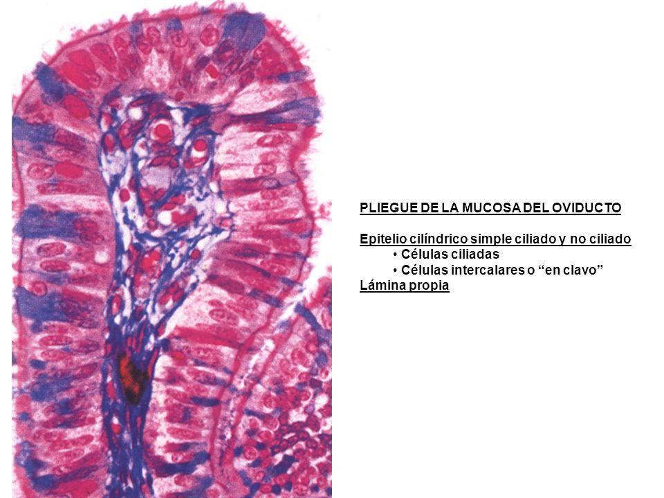 PLIEGUE DE LA MUCOSA DEL OVIDUCTO Epitelio cilíndrico simple ciliado y no ciliado Células ciliadas Células intercalares o en clavo Lámina propia