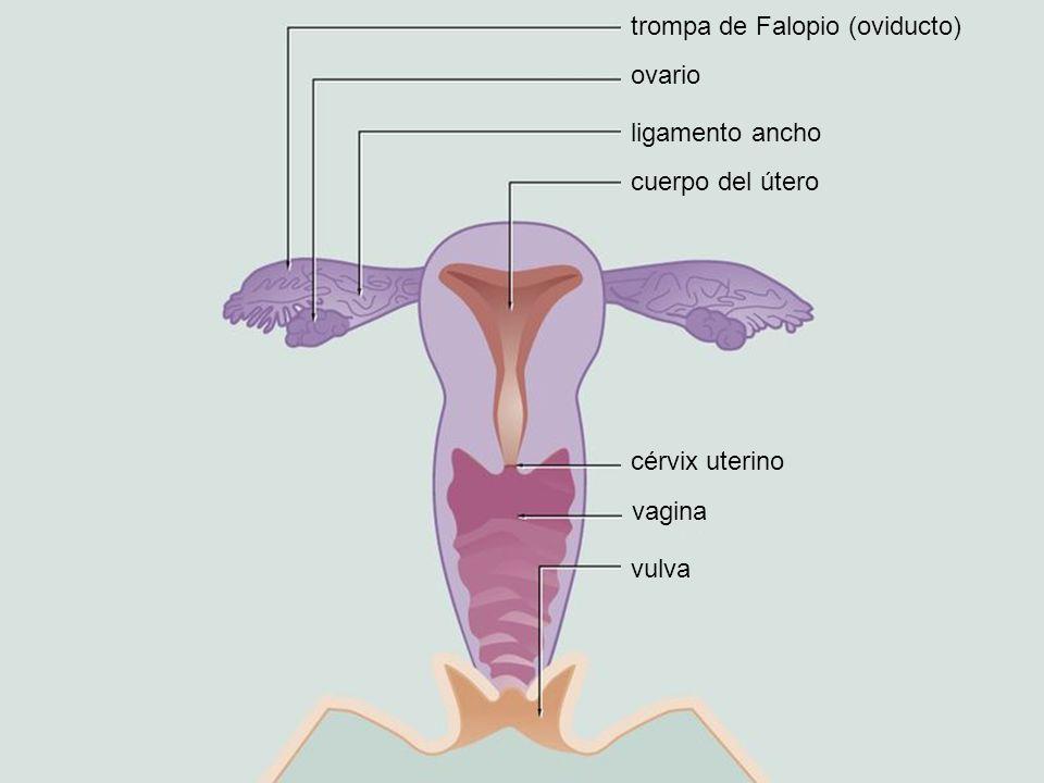 trompa de Falopio (oviducto) ovario ligamento ancho cuerpo del útero cérvix uterino vagina vulva