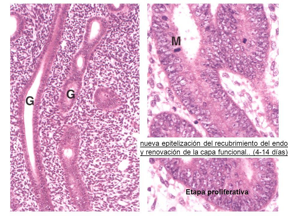 Etapa proliferativa nueva epitelización del recubrimiento del endometrio y renovación de la capa funcional.. (4-14 días)